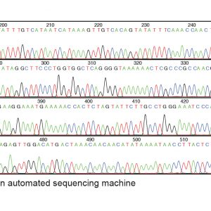 Basic DNA sequence